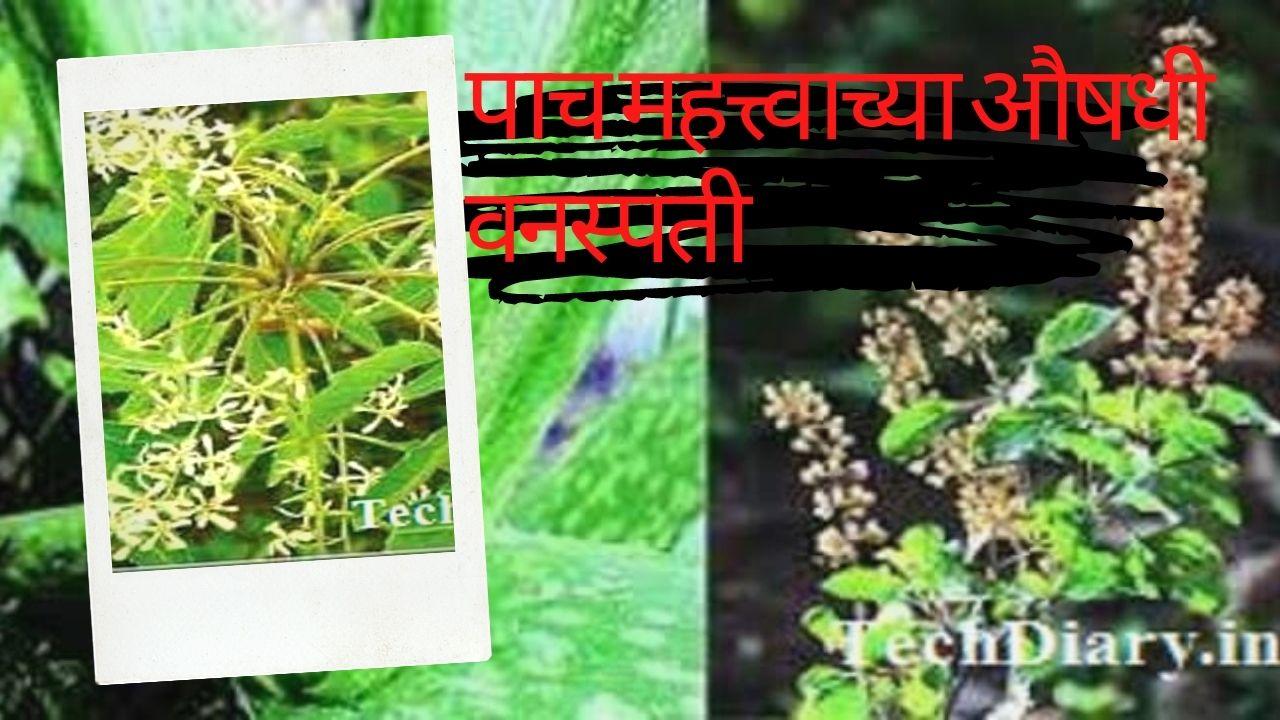 कोरपडतुळस औषधी वनस्पती
